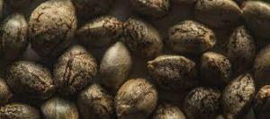DROGA / E' reato la vendita dei semi di cannabis ?